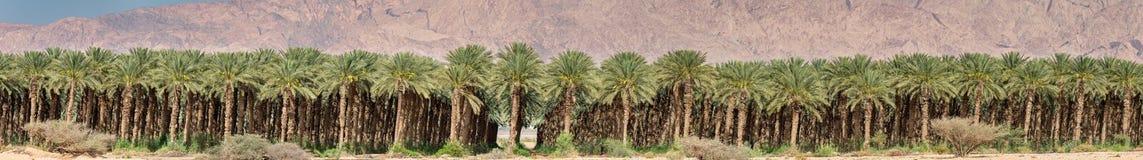 Plantation of date palms Stock Photo