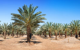 Plantation of date palms Royalty Free Stock Photography