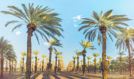 Plantation of date palms at sunset Royalty Free Stock Images