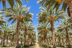 Plantation of date palms. Tropical agriculture industry in the Middle East Stock Photography