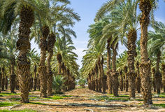 Plantation of date's palms Royalty Free Stock Images