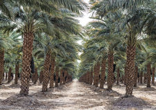 Plantation of date's palms near Eilat, Israel Stock Photography
