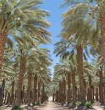 Plantation of date's palms near Eilat, Israel Stock Photos