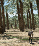 Plantation of date's palms near Eilat, Israel Stock Images