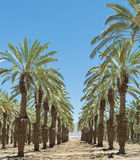 Plantation of date's palms near Eilat, Israel Royalty Free Stock Photo