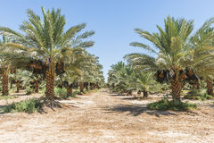 Plantation of date's palms with ripening dates Stock Photos