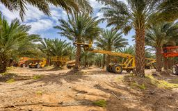 Plantation of Dates, maintenance. Tropical agriculture industry in the Middle East. Plantations of dates have an important place in advanced desert agriculture Stock Photos