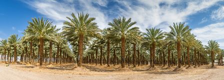 Plantation of Dates. Tropical agriculture industry in the Middle East. Plantations of dates have an important place in advanced desert agriculture of the Middle Royalty Free Stock Photo