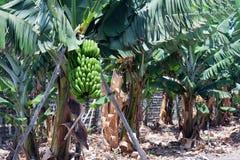 plantation de banane en espagne les canaries la palma photo stock image 47272079. Black Bedroom Furniture Sets. Home Design Ideas