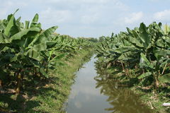 Plantation de banane Image stock