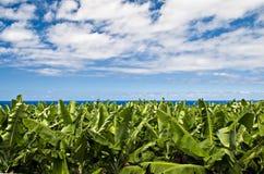 Plantation de banane Images libres de droits