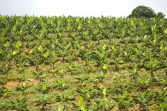 Plantation de banane photo libre de droits