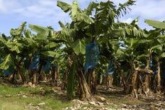 plantation de banane martinique image stock image 31220601. Black Bedroom Furniture Sets. Home Design Ideas