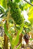 Plantation de banane canarienne Platano en La Palma Images stock