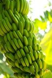Plantation de banane canarienne Platano en La Palma Photographie stock libre de droits