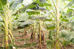 Plantation de banane de plan rapproché Photographie stock libre de droits