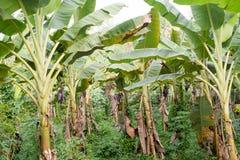 Plantation de banane de plan rapproché Photo stock