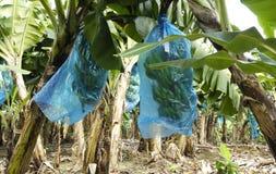 Plantation de banane Martinique images stock