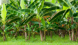 Plantation de banane organique Photographie stock