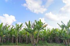 Plantation de bananier avec la lumière du jour Photographie stock