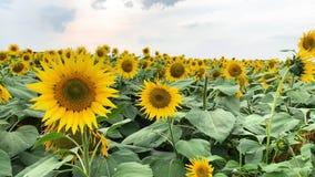 Plantation de beaux tournesols de floraison jaunes dans le terrain clips vidéos