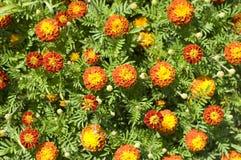Plantation de belles fleurs de source Image libre de droits