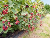 Plantation de Blackberry Photo stock
