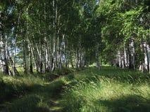 Plantation de bouleau. Image stock