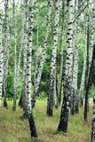 Plantation de bouleau Image stock