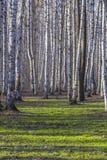 Plantation de bouleau Images libres de droits