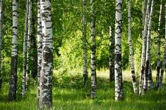 Plantation de bouleau Images stock