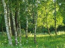 Plantation de bouleau Photos libres de droits