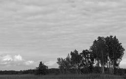 Plantation de bouleau Photo libre de droits