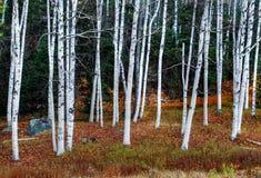 Plantation de bouleau Image libre de droits