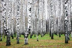 Plantation de bouleau d'automne en octobre Photos stock