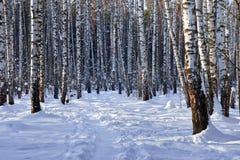 Plantation de bouleau de l'hiver Photo stock