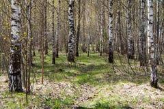 Plantation de bouleau de source Photographie stock