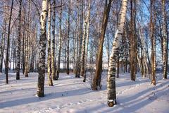 Plantation de bouleau en hiver Images stock
