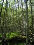 Plantation de bouleau (Norvège) Photo libre de droits