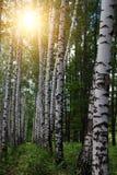 Plantation de bouleaux d'arbres Image libre de droits