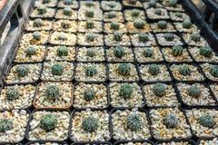 Plantation de cactus d'Astrophytum Photographie stock