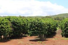 Plantation de café image stock