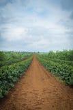 Plantation de café Image libre de droits