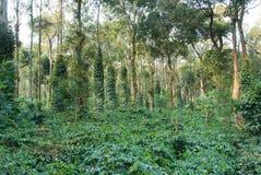 plantation de café Photos libres de droits