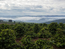 Plantation de café photos libres de droits