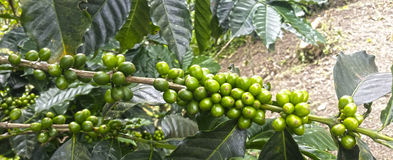 Plantation de café Images libres de droits