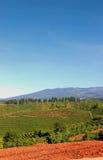 Plantation de café au Costa Rica images libres de droits