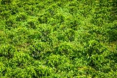Plantation de café dans Jerico Colombie Image stock