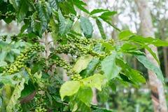 Plantation de café dans la ferme de plantation d'arbre en caoutchouc Images libres de droits