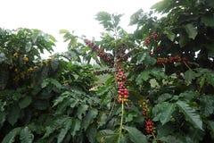 Plantation de café dans la ville rurale de Carmo De Minas Brazil Photo stock